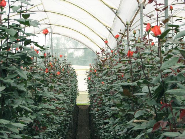 Выращивание розы на срезку в теплице 44